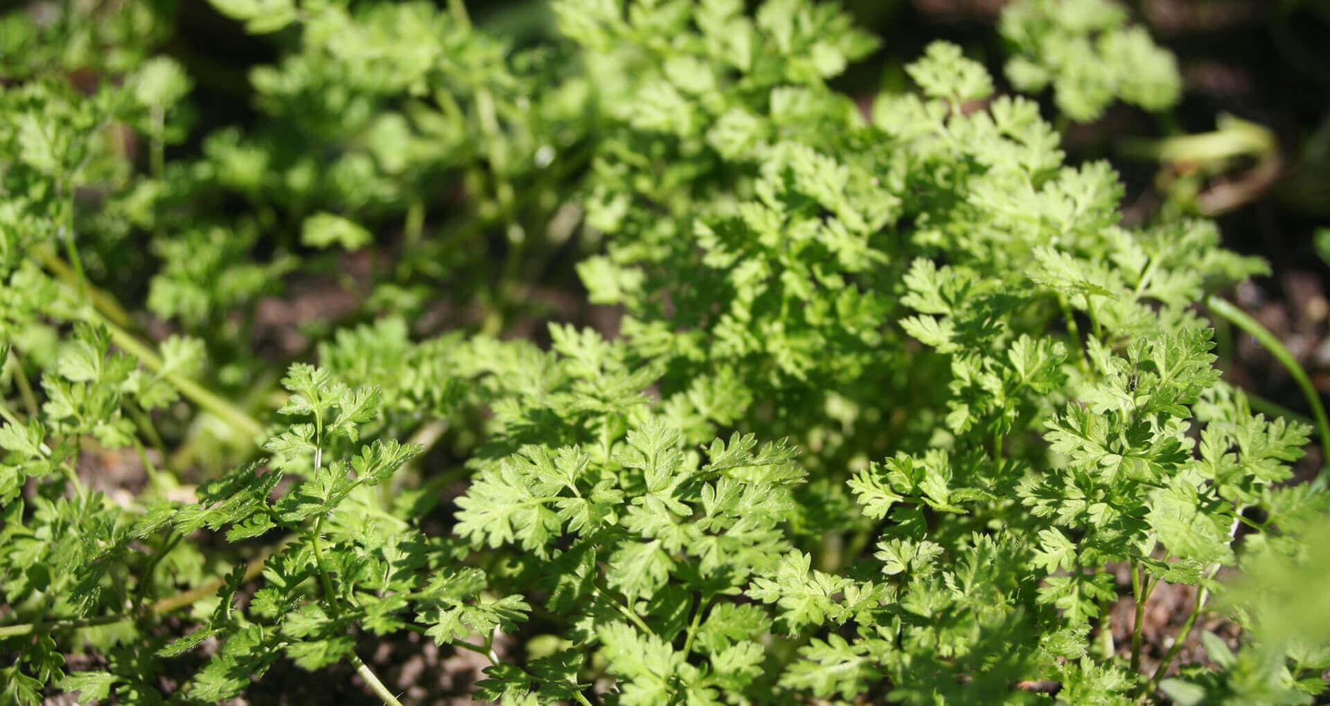 Blumenmischung n tzlingswiese g nninger samen - Duftende gartenpflanze ...
